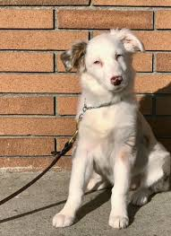 australian shepherd puppies for sale los angeles trained dogs for sale family obedience u0026 protection dogs