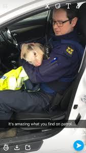 Garda Memes - trending pics gardai found a micro pig wandering the roads of