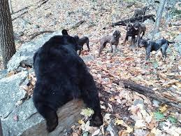 bluetick coonhound song treeing walker coonhounds hunting baaawoooooooooooooooooooooo