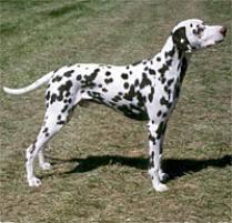 adopt dalmatian dog breeds petfinder