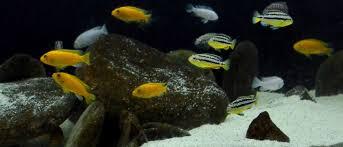 ornamental freshwater fish muni