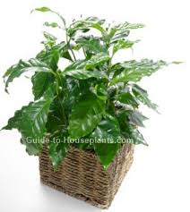 coffee plant botanical name coffea arabica coffee plant is the