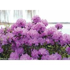 purple flowers proven winners cotta rhododendron live shrub purple flowers