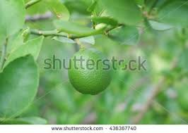 lime fruit lime green tree hanging stock photo 436367740