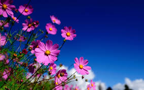 pink cosmos flower wallpaper 7000126