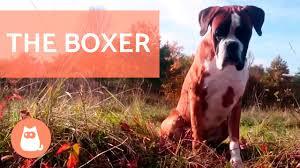 boxer dog training tips the boxer dog traits and training youtube