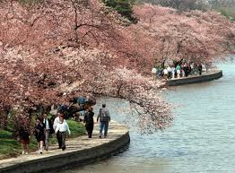 japanese cherry trees planted along tidal basin march 27 1912