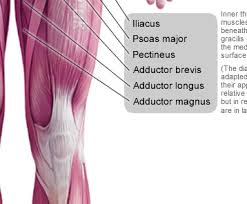 Human Body Muscles Images Anterior Muscles Of The Human Body