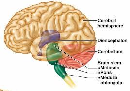 Brain Stem Anatomy Anatomy