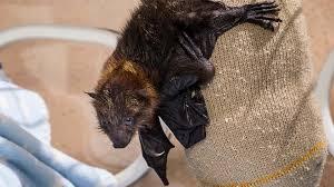 bat san diego zoo animals u0026 plants