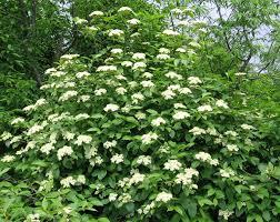native plant nursery pa viburnum nudum 1991 gold medal winner pa hort society pt shade