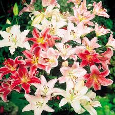Lily Bulbs Buy Your Affordable Liliy Flower Bulbs Now