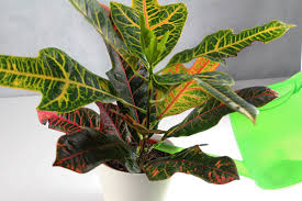 Easy Care Indoor Plants Crotons Codiaeum Variegatum How To Grow And Care For House