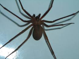 Brown Recluse Map Brown Recluse Spider