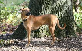 black mouth cur wikipedia