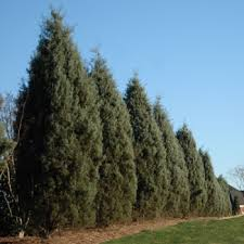superior evergreen trees landscaping evergreens fast growing trees