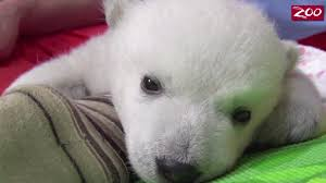 Zoo Lights Columbus Zoo by A Polar Bear Cub Being Hand Reared At The Columbus Zoo In Ohio Is