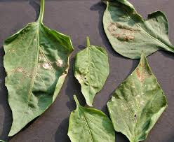 Green Chilli Plant Diseases - plant diseases of chilli