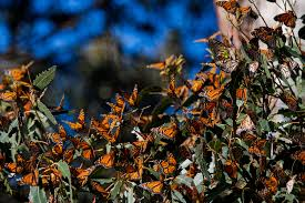 josé andrés why we need to protect monarch butterflies national