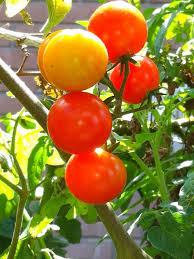 overcoming tomato troubles hgtv
