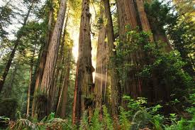 sequoie giganti giornata della terra pinterest earth