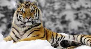 10 siberian tiger facts that would they are soon to be