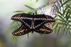 butterfly legs taste plants for egg laying study