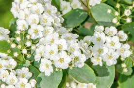 babys breath breath poisoning in dogs symptoms causes diagnosis treatment