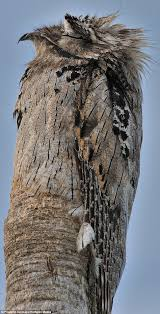 bird perfectly blends itself in with a tree trunk daily mail