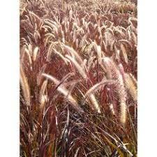 drought tolerant ornamental grasses california enhance wildlife