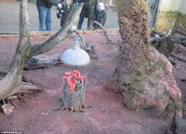meerkats huddle up under a heat lamp to beat the british winter