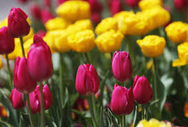 thanksgiving point s annual tulip festival returns for its 13th