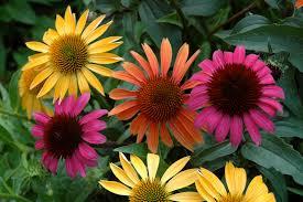 echinacea flower echinacea auntie dogma s garden spot
