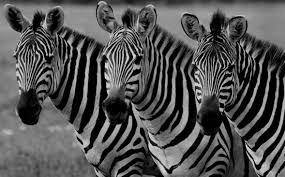 green zebras a new kind of market research company in malaysia