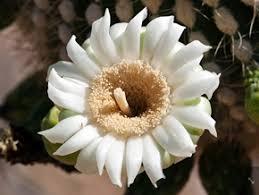 arizona flowers stateflower