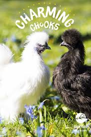 32 best silkie chickens images on pinterest silkie chickens