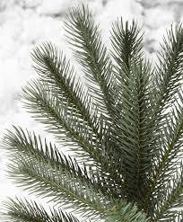 colorado blue spruce snap tree tree classics