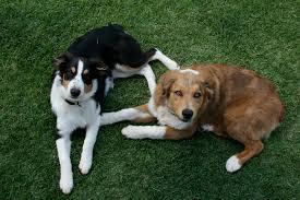 3 legged australian shepherd family dogs and dog breeds we need your help monica swanson