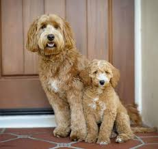 doodle doo labradoodles 17 best projects grooming toby images on baby
