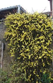 jasmine winter ironwood gardens