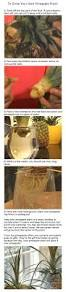 native plant journal diy project grow your own pineapple plant style files com