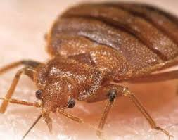 Bed Bugs Smell Bed Bug Identification Signs And Pictures