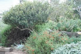 california native plant gardens a california native plant garden in san diego county more