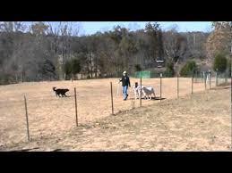 belgian sheepdog herding akc herding belgian sheepdog