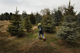 where and how to cut your own tree in colorado