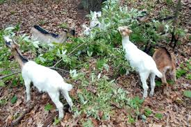 plants native to michigan new weapon to fight invasive plants in michigan goats michigan