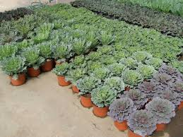 parks brothers fall ornamental cabbage parks brothers greenhouses