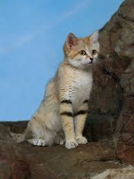 the sand cat or felis margarita is incredibly rare u2014 it u0027s the