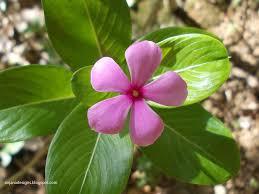 flowering plants of kerala periwinkle