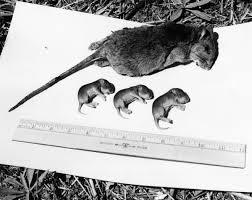 florida wood florida memory florida wood rats